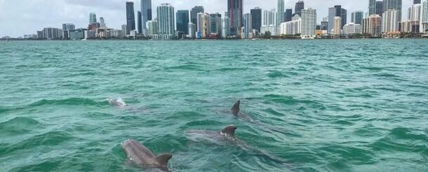 During a miami sightseeing tour on a boat ride, customers encounter a pod of wild dolphin.