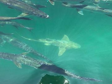 A shark among Tarpon in Miami's Biscayne Bay.